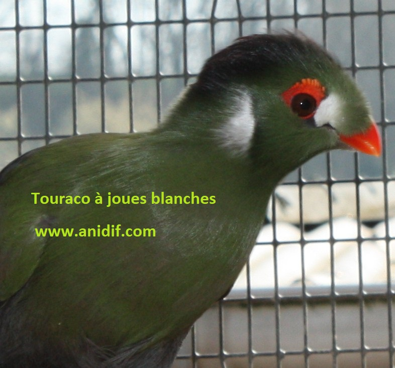 DOCUMENT INFORMATIONS TOURACOS PIGEONS FRUGIVORES